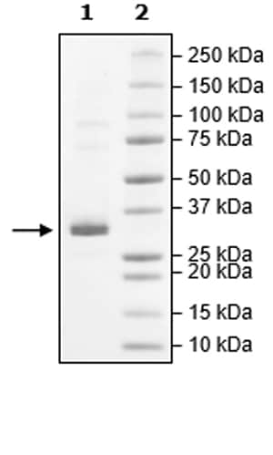 SDS-PAGE - Recombinant Human JAK2 (mutated W659A + W777A + F794H) protein (Tagged) (Biotin) (ab271563)