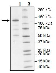 SDS-PAGE - Recombinant Human JAK2 protein (Tagged) (Biotin) (ab271564)