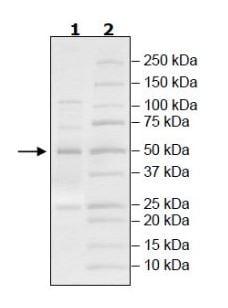 SDS-PAGE - Recombinant Human kynurenine 3-monooxygenase protein (Tagged) (ab271578)