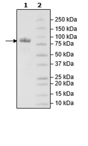 SDS-PAGE - Recombinant Mouse LAG-3 protein (Tagged) (ab271582)