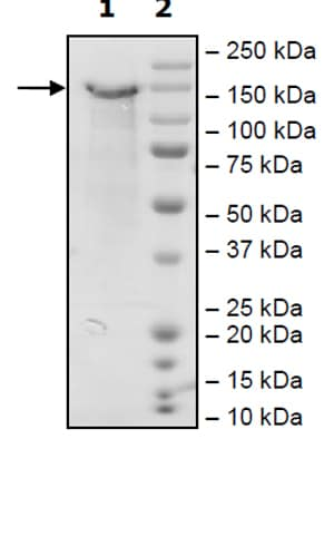 SDS-PAGE - Recombinant Mouse LDL Receptor protein (Tagged) (ab271586)