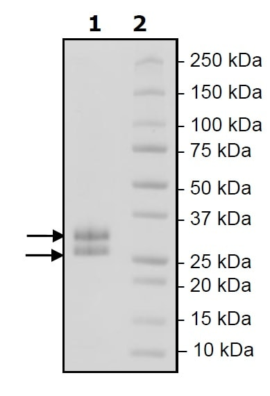 SDS-PAGE - Recombinant Mouse LIGHT/TNFSF14 protein (His tag) (ab271589)