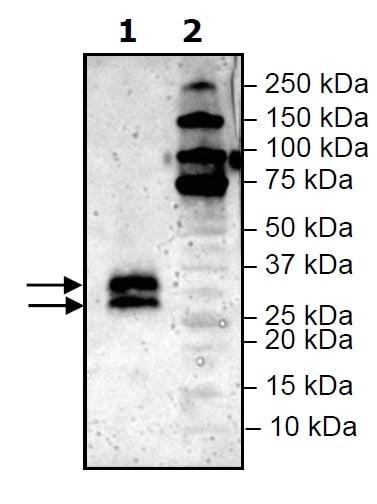 Western blot - Recombinant Mouse LIGHT/TNFSF14 protein (His tag) (ab271589)