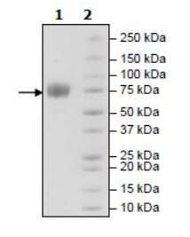 SDS-PAGE - Recombinant Human LILRA1 protein (Tagged) (Biotin) (ab271590)