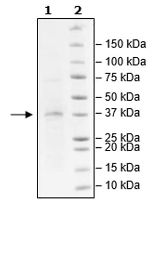 SDS-PAGE - Recombinant Human Lin28B protein (Tagged) (Biotin) (ab271601)