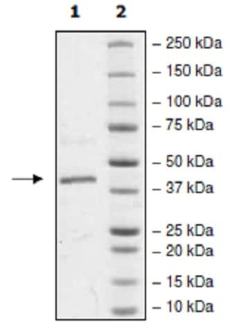 SDS-PAGE - Recombinant human p38 alpha/MAPK14 protein (Active) (ab271606)