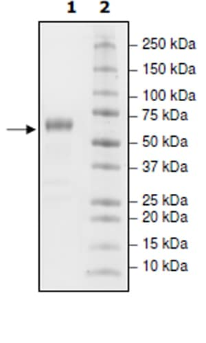 SDS-PAGE - Recombinant PD1 protein (Tagged) (ab271616)