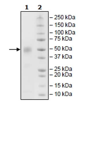 SDS-PAGE - Recombinant Cynomolgus monkey CD46 protein (His tag) (ab271620)