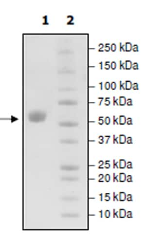 SDS-PAGE - Recombinant Mouse CD137 protein (Tagged) (ab271621)