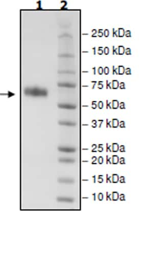 SDS-PAGE - Recombinant Mouse CD137 protein (Tagged) (ab271622)
