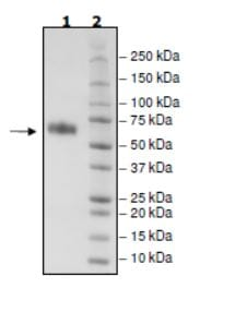 SDS-PAGE - Recombinant Mouse CD137 protein (Tagged) (Biotin) (ab271623)