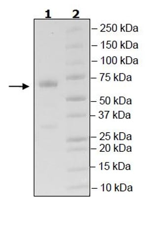 SDS-PAGE - Recombinant Human CD134 / OX40L receptor protein (Tagged) (ab271642)