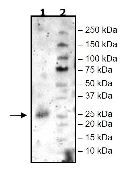 Western blot - Recombinant Mouse CD134 protein (Tagged) (ab271645)