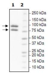 SDS-PAGE - Recombinant human PI 3 Kinase p85 alpha protein (Active) (ab271646)