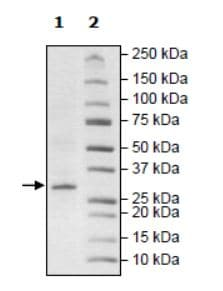 SDS-PAGE - Recombinant Human ARTD10 protein (Tagged) (ab271650)