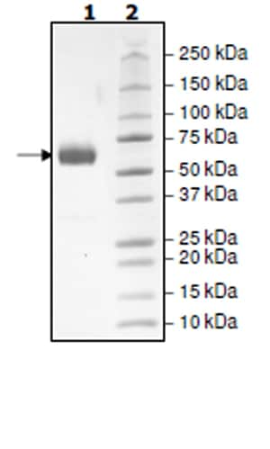 SDS-PAGE - Recombinant Human PD1 (mutated K78A) protein (Tagged) (Biotin) (ab271660)