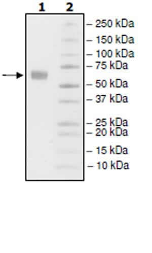 SDS-PAGE - Recombinant Human PD1 (mutated P130A) protein (Tagged) (Biotin) (ab271662)