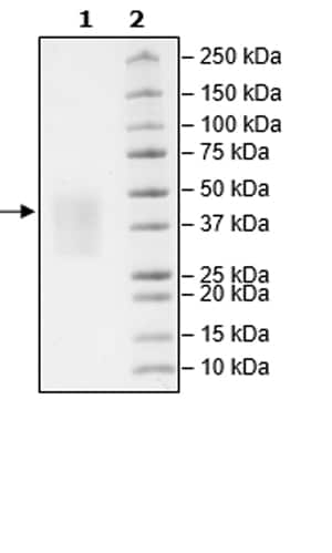 SDS-PAGE - Recombinant Mouse PD1 protein (Tagged) (Biotin) (ab271664)