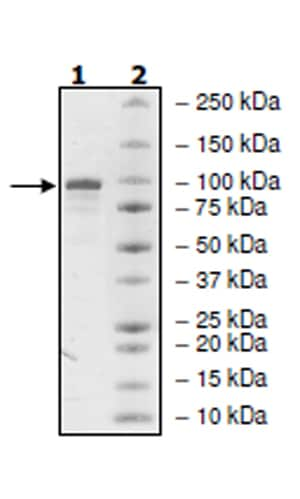 SDS-PAGE - Recombinant human PDE4B protein (Active) (ab271679)