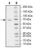 SDS-PAGE - Recombinant Human PD-L1 protein (Tagged) (Biotin) (ab271692)