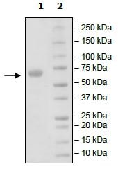 SDS-PAGE - Recombinant human PD-L1 protein (Tagged) (ab271693)