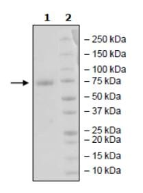 SDS-PAGE - Recombinant Human PD-L1 (mutated K124A) protein (Tagged) (ab271696)