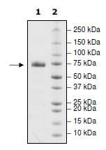 SDS-PAGE - Recombinant Human PD-L1 (mutated R113A) protein (Tagged) (Biotin) (ab271700)