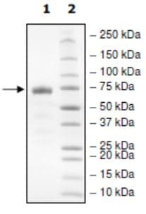 SDS-PAGE - Recombinant Human PD-L1 (mutated R125A) protein (Tagged) (Biotin) (ab271701)