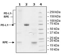 SDS-PAGE - Recombinant Human PD-L1 protein (Tagged) (ab271708)