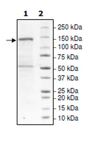 SDS-PAGE - Recombinant human PHF8 protein (Active) (ab271713)