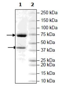 SDS-PAGE - Recombinant Human PRMT5 + MEP50 protein (Tagged) (Biotin) (ab271720)