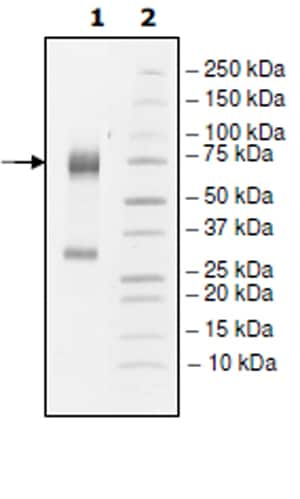SDS-PAGE - Recombinant Rabbit Angiopoietin 2/ANG2 protein (His tag) (ab271726)
