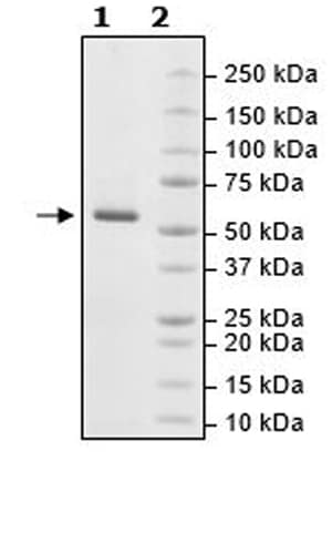 SDS-PAGE - Recombinant human RIP2 protein (Active) (ab271734)
