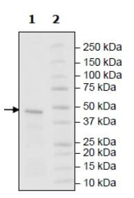 SDS-PAGE - Recombinant human SF3B2 protein (Active) (ab271736)