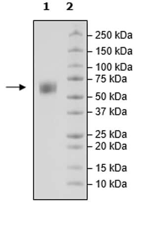 SDS-PAGE - Recombinant Cynomolgus monkey SIRP alpha protein (Tagged) (Biotin) (ab271742)
