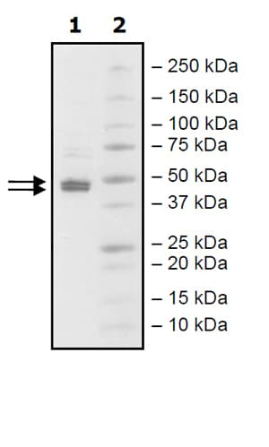 SDS-PAGE - Recombinant human SGPL1 protein (Active) (ab271748)
