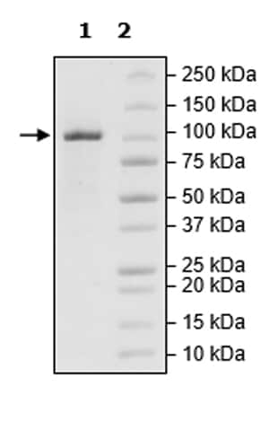 SDS-PAGE - Recombinant human Tet2 protein (Active) (ab271754)