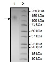 SDS-PAGE - Recombinant Human TIM 1 protein (Tagged) (ab271762)
