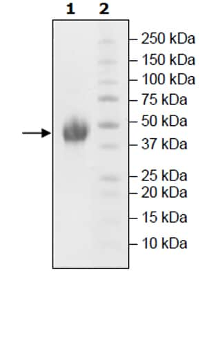 SDS-PAGE - Recombinant Human TIM 3 protein (Tagged) (ab271765)
