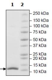SDS-PAGE - Recombinant Human Ubiquitin protein (Tagged) (Biotin) (ab271779)