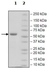 SDS-PAGE - Recombinant Human ULBP1 protein (Tagged) (ab271782)