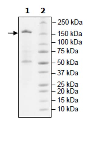 SDS-PAGE - Recombinant human KDM6A / UTX protein (Active) (ab271785)