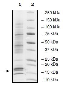 SDS-PAGE - Native Human Nucleosome protein (ab271797)
