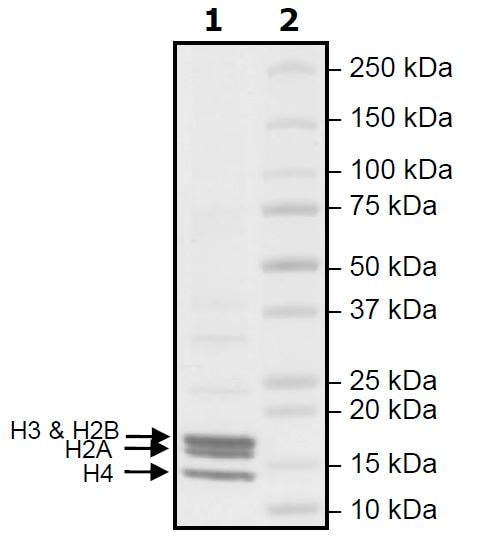 SDS-PAGE - Native Human Nucleosome protein (ab271798)