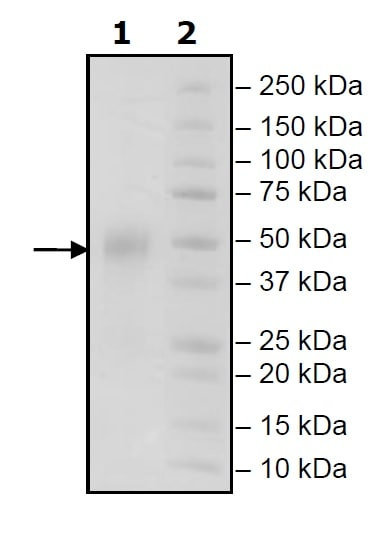 SDS-PAGE - Recombinant Human CD16a (mutated F176V) protein (Tagged) (ab271801)