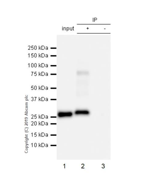 Immunoprecipitation - Anti-Apolipoprotein A I antibody [EP1368Y] - BSA and Azide free (ab271849)