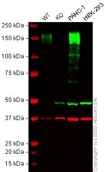 Western blot - Anti-CD13 antibody [EPR4058] - BSA and Azide free (ab271872)