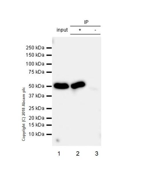 Immunoprecipitation - Anti-Cytochrome P450 17A1/CYP17A1 antibody [EPR6293] - BSA and Azide free (ab271888)