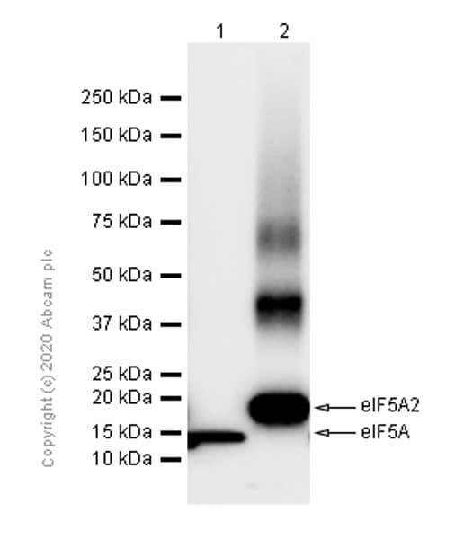Western blot - Anti-eIF5A2 + eIF5A antibody [EPR7412-50] - BSA and Azide free (ab271915)