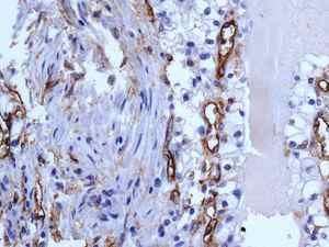 Immunohistochemistry (Formalin/PFA-fixed paraffin-embedded sections) - Anti-CD105 antibody [EPR10145-12] - BSA and Azide free (ab271922)
